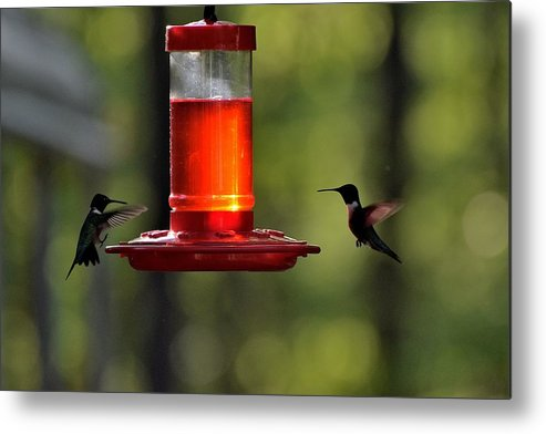 Bird Metal Print featuring the photograph Hummingbirds 336 by Lawrence Hess