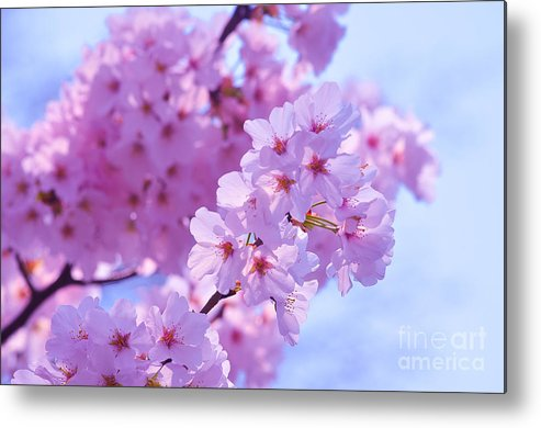 Cherry Metal Print featuring the photograph In Bloom by Christian LeBlanc