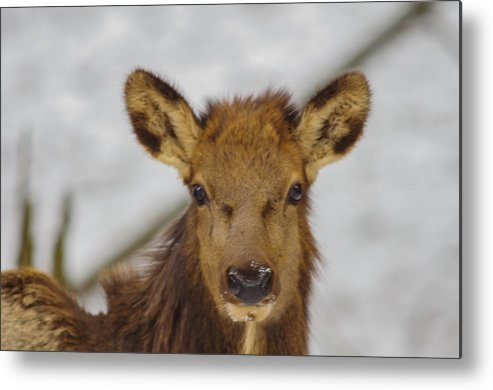 Elk Metal Print featuring the photograph Juvenile Pa. Elk by Nathan Harker