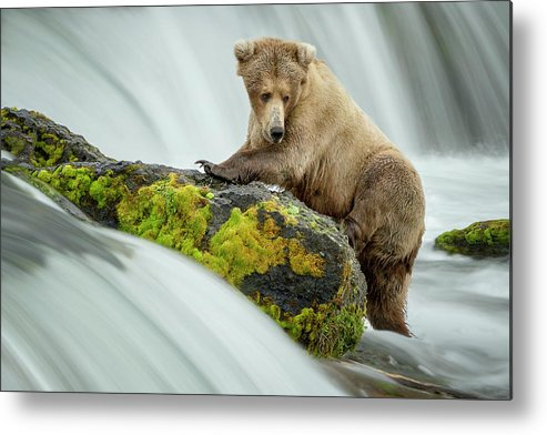 Bear Metal Print featuring the photograph Left Wanting by Renee Doyle