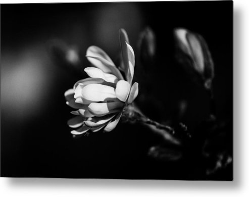 Black And White Metal Print featuring the photograph Magnolia by Kelly Hayner
