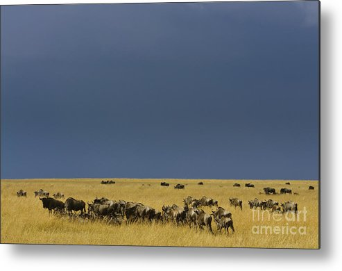 Africa Metal Print featuring the photograph Migrating Wildebeests by John Shaw