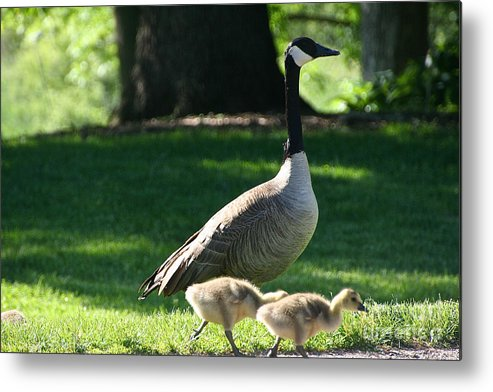 Avian Metal Print featuring the photograph Sunday Stroll by Susan Herber
