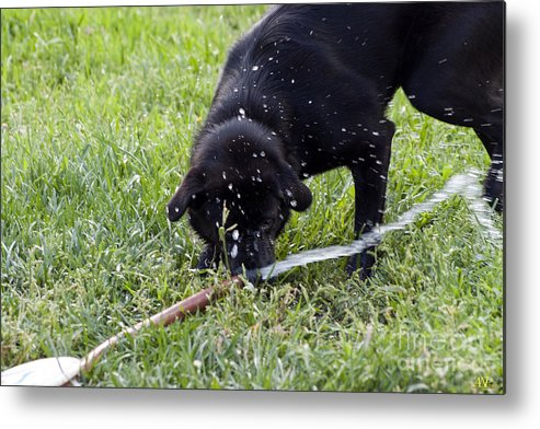 Dog Metal Print featuring the photograph Moving The Hose by ANP Studios