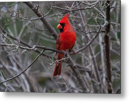 Cardinal Metal Print featuring the photograph Northern Cardinal by Ronnie Prcin