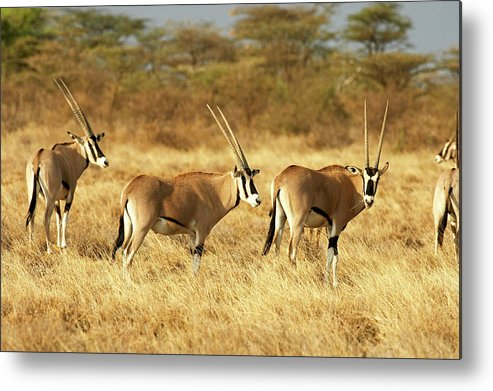 Adult Metal Print featuring the photograph Oryx Beisa Oryx Beisa by Gerard Lacz
