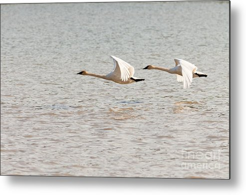 Above Metal Print featuring the photograph Pair Of Flying Trumpeter Swans Cygnus Buccinator by Stephan Pietzko