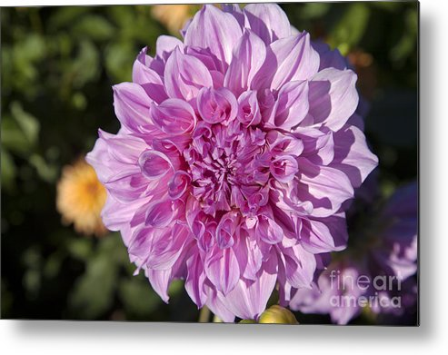 Bloom Metal Print featuring the photograph Pink Dahlia by Peter French
