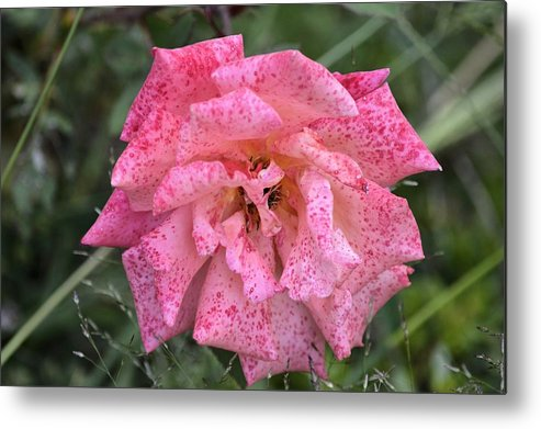 Rose Metal Print featuring the photograph Pink Rose by Bonfire Photography