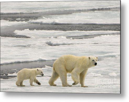 Polar Bear Cub Metal Print featuring the photograph Polar Bear With Cub by John Shaw