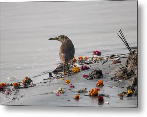 Allahabad Metal Print featuring the photograph Pond Heron by Gaurav Singh