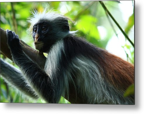 Red Colobus Monkey Metal Print featuring the photograph Red Colobus Monkey by Aidan Moran