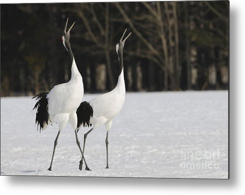 Grus Japonensis Metal Print featuring the photograph Red-crowned Cranes Courting by John Shaw