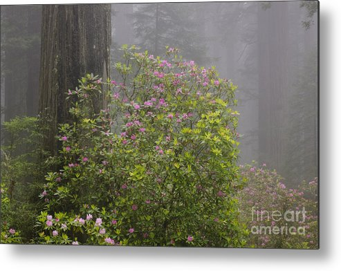Pacific Rhododendron Metal Print featuring the photograph Rhododendron In Del Norte State Park, Ca by John Shaw