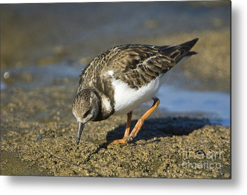 Nature Metal Print featuring the photograph Ruddy Turnstone by John Shaw