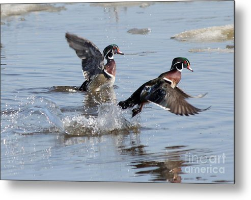 Wood Duck Metal Print featuring the photograph Running On The Water by Lori Tordsen