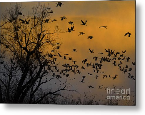 Animal Metal Print featuring the photograph Sandhill Cranes by Mark Newman
