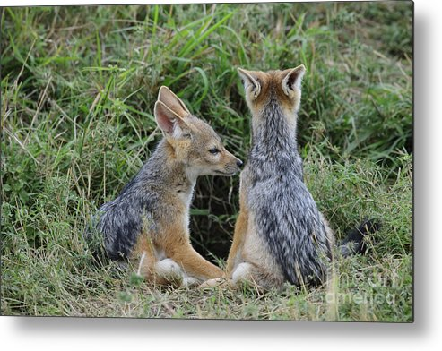 Africa Metal Print featuring the photograph Silver-backed Jackal Pups by John Shaw