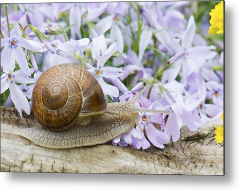 Animal Metal Print featuring the photograph Snail by Jaroslaw Grudzinski
