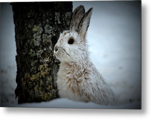 Snowshoe Hare In Winter Metal Print featuring the photograph Snowshoe Hare by Rick and Dorla Harness