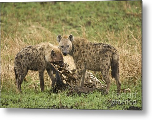 African Fauna Metal Print featuring the photograph Spotted Hyaena by John Shaw