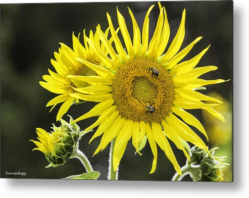 Bees Metal Print featuring the photograph Sunflowers by Fran Gallogly