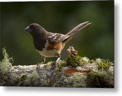 Bird Metal Print featuring the photograph Towhee by Jean Noren