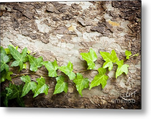 Tree Metal Print featuring the photograph Tree Vine by Tim Hester