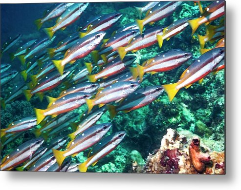 Two-spot Banded Snapper Metal Print featuring the photograph Two-spot Banded Snappers by Georgette Douwma