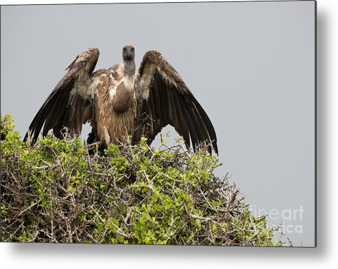 African Fauna Metal Print featuring the photograph Vultures With Full Crops by John Shaw
