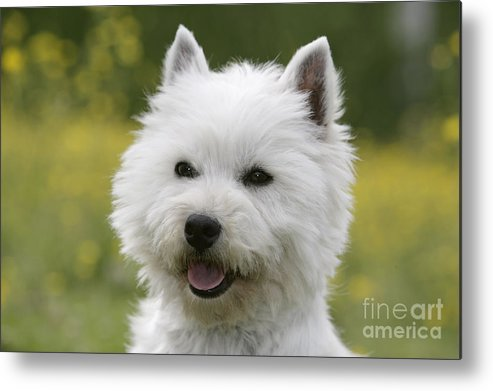 West Highland White Terrier Metal Print featuring the photograph West Highland White Terrier by Rolf Kopfle