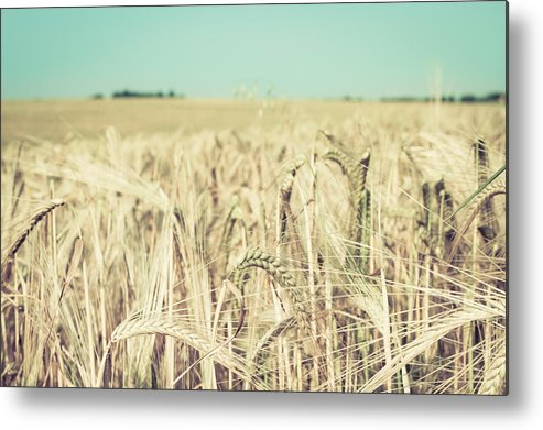 Agriculture Metal Print featuring the photograph Wheat Crop by Tom Gowanlock