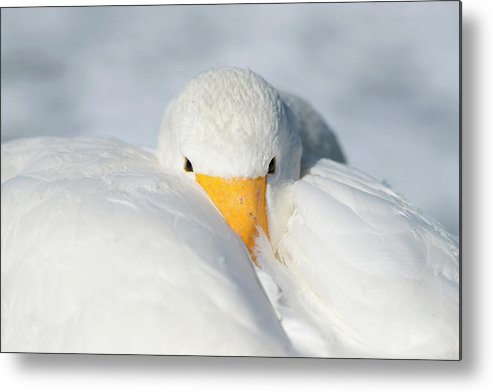 Animal Metal Print featuring the photograph Whooper Swan Resting by Dr P. Marazzi