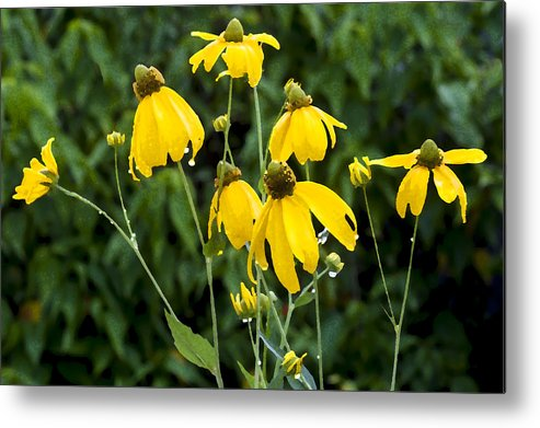 Ratibida Pinnata Metal Print featuring the photograph Yellow Cone Flowers Rudbeckia by Rich Franco