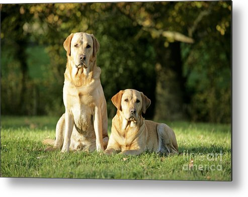 Dogs Metal Print featuring the photograph Yellow Labrador Retrievers by John Daniels