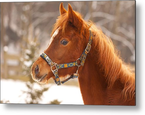 Animal Metal Print featuring the photograph Young Horse In Winter Day by Jaroslav Frank