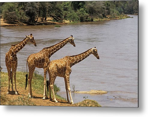 Adult Metal Print featuring the photograph Girafe Reticulee Giraffa Camelopardalis by Gerard Lacz
