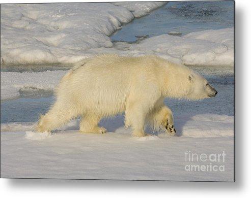 Polar Bear Metal Print featuring the photograph Polar Bear Walking On Ice by John Shaw