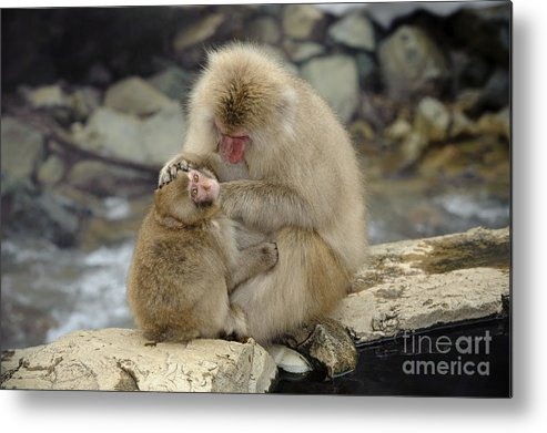 Japanese Macaque Metal Print featuring the photograph Snow Monkeys by John Shaw