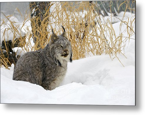 Lynx Canadensis Metal Print featuring the photograph Canadian Lynx by John Shaw