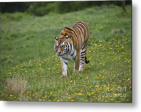 Asia Metal Print featuring the photograph Siberian Tiger, China by John Shaw