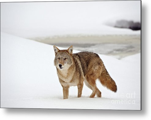 Canis Latrans Metal Print featuring the photograph Coyote by John Shaw