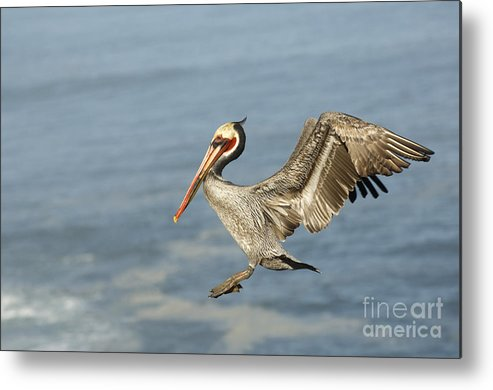 Brown Pelican Metal Print featuring the photograph Brown Pelican by John Shaw