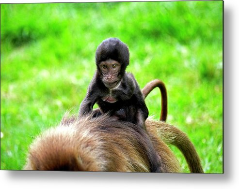 Africa Metal Print featuring the photograph Gelada Theropithecus Gelada by Gerard Lacz
