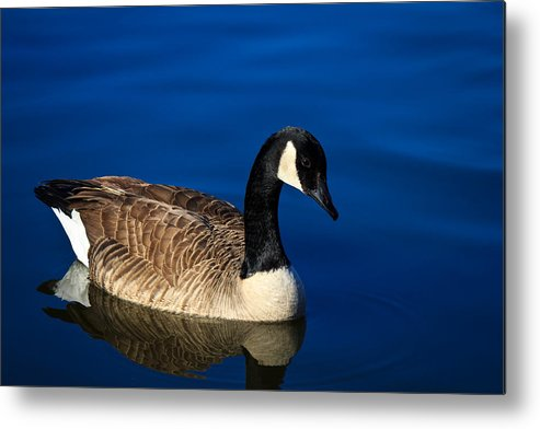Canada Goose Metal Print featuring the photograph Canada Goose by Doug Long