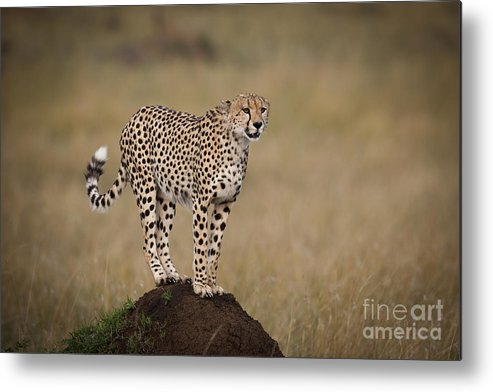 Acinonyx Jubatus Metal Print featuring the photograph Cheetah On Termite Mound by John Shaw