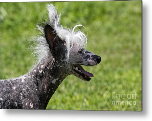 Chinese Crested Metal Print featuring the photograph Chinese Crested Dog by M. Watson
