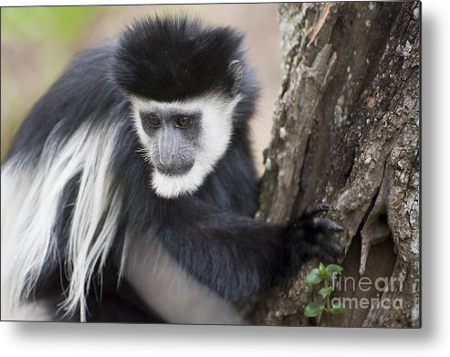 Africa Metal Print featuring the photograph Colobus Monkey by John Shaw