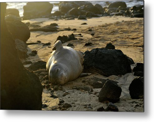 Hawaiian Monk Seal Pinniped Endangered Critically Species Beach Mammal Mammalian Monachus Schauinslandi Hawaii Endemic Sunrise Dawn Metal Print featuring the photograph Foca-monge-havaiana Descansa Na Praia by Andre Seale