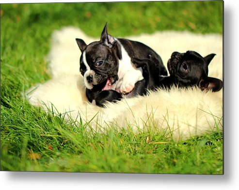 French Bulldogs Metal Print featuring the photograph French Bulldoggs by Heike Hultsch
